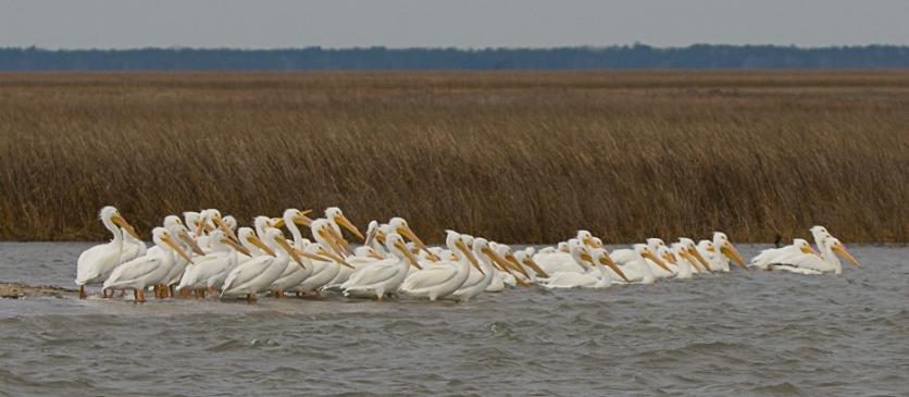 American White Pelicans at Cape Romain NWR - Ed Konrad
