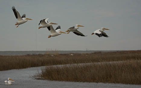 American White Pelicans at Cape Romain NWR - Ed Konrad