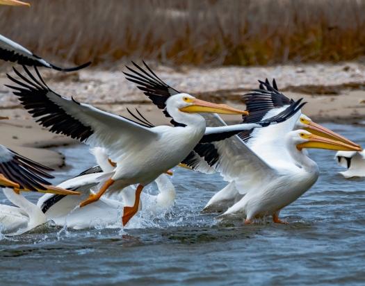 American White Pelicans at Cape Romain NWR - C Moore
