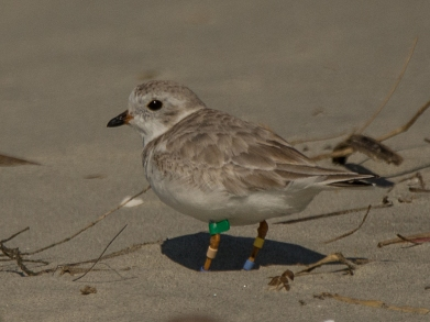 Banded Piping Plover #2. spotted Feb 2017 - Ed Konrad