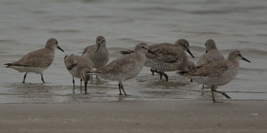Red Knot, North Beach Mar 2018 - Ed Konrad
