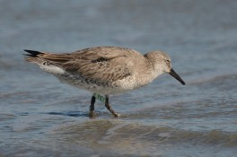Red Knot #1C1, spotted Feb 2017 - Ed Konrad