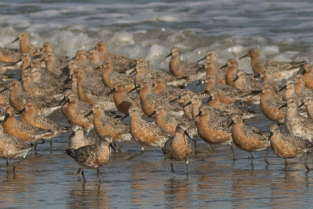 6Red Knots, North Beach, April 2016