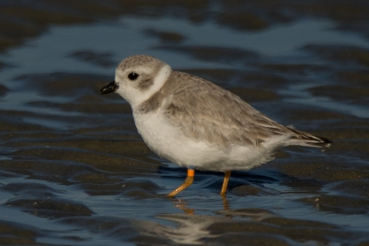 Banded Piping Plover #1, spotted Feb 2018 - Ed Konrad