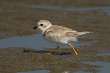 Banded Piping Plover #1, spotted Aug 2017 - Ed Konrad