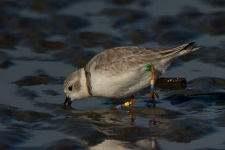 Banded Piping Plover #2, spotted Feb 2018 - Ed Konrad