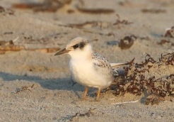Juvenile Least Tern. Photo by Glen Cox