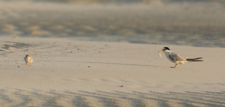 Least Tern parent feeding a chick. Photo by Glen Cox