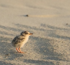 Least Tern chick. Photo by Glen Cox