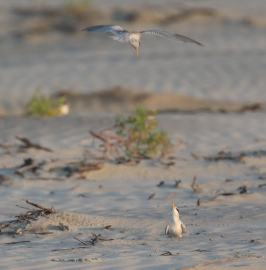 Least Terns. Photo by Glen Cox