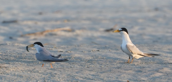 Least Terns courting. Photo by Glen Cox