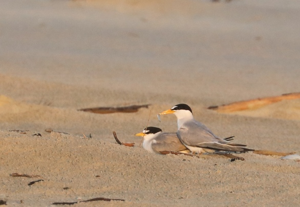 Least Terns getting cozy. Photo by Glen Cox