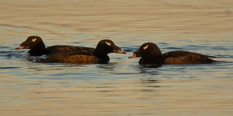 4 White-winged Scoter (Ed Konrad)