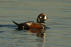 5 Harlequin Duck (Ed Konrad)