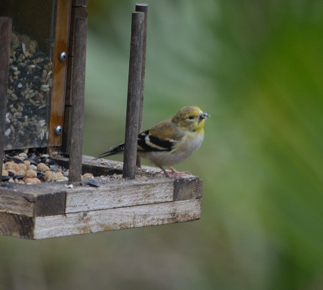 First of Season American Goldfinch - Dean Morr