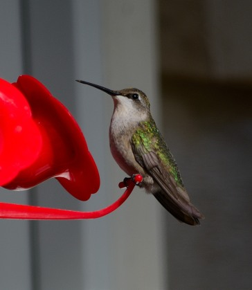 One of three Ruby-throated Hummingbirds - Dean Morr