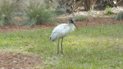 Wood Stork walking away - Elaine & Ron Ross