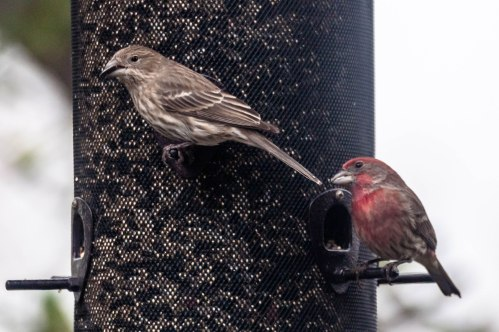 House Finches - Charley Moore