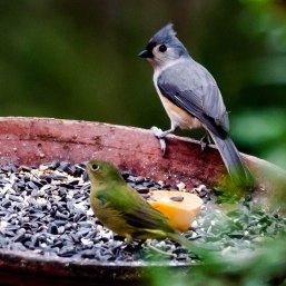 Tufted Titmouse and Painted Bunting - Charley Moore