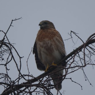 Red-shouldered Hawk at the Garden - Charley Moore
