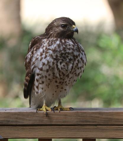 Hawk on the gate