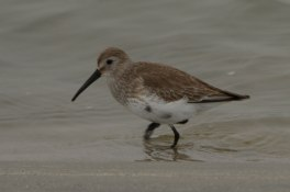 Dunlin at North Beach - Ed Konrad