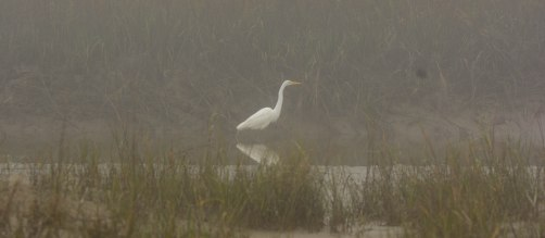 Great Egret at North Beach - Ed Konrad