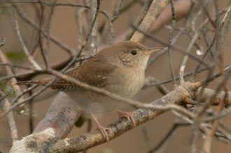 House Wren at North Beach - Ed Konrad