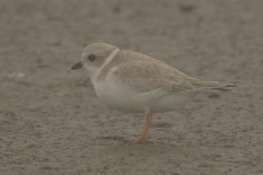 Piping Plover at North Beach - Ed Konrad