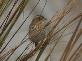 Saltmarsh Sparrow at North Beach - Ed Konrad