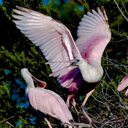 Roseate Spoonbills at Jenkins Point - Charley Moore
