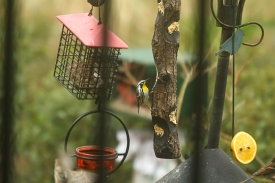 Yellow-throated Warbler - Patricia Schaefer