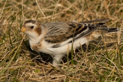Snow Bunting, North Point State Park, MD - Ed Konrad