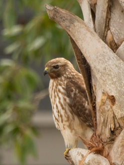 Red-shouldered Hawk - Ed Konrad