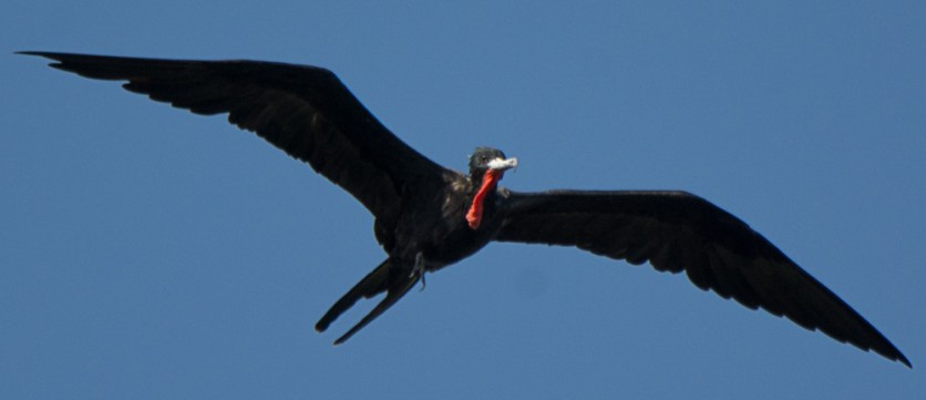 Bird #500 - Magnificent Frigatebird, St Petersburg, FL - Ed Konrad