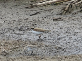 Black-fronted Dotterel & Red-necked Stint