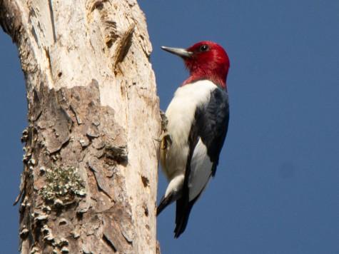 Santee Coastal Reserve - Red-headed Woodpecker - Ed Konrad