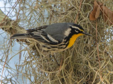 Santee Coastal Reserve - Yellow-throated Warbler - Ed Konrad