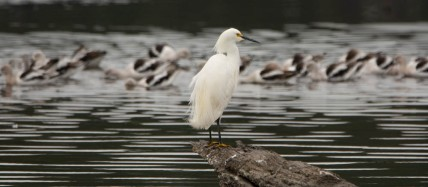 Bear Island WMA - Snowy Egret - Ed Konrad