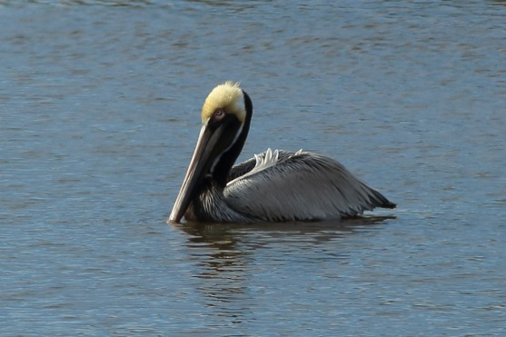 Brown Pelican along the West Ashley Greenway - Bob Mercer