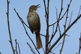 Brown Thrasher along the West Ashley Greenway - Bob Mercer