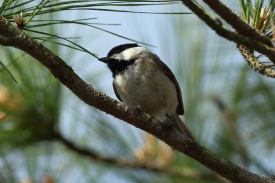 Carolina Chickadee along the West Ashley Greenway - Bob Mercer