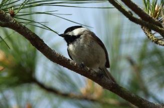 Carolina Chickadee along the West Ashley Greenway - Bob Mercer