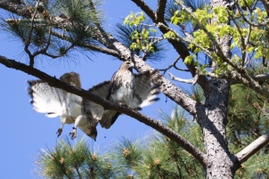 Mated pair of Red-tailed Hawk after the deed was done - Jackie Brooks