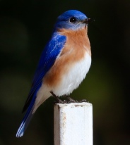 Eastern Bluebird - David Etler