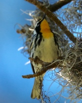 Yellow-throated Warbler - David Etler