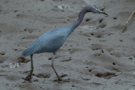 Little Blue Heron along the West Ashley Greenway - Bob Mercer