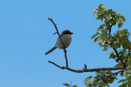Loggerhead Shrike along the West Ashley Greenway - Bob Mercer