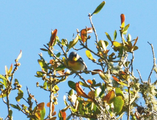 Northern Parula - Marie Wardell