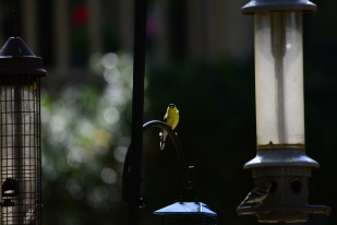 American Goldfinch - Marie Wardell